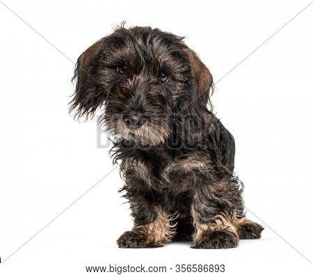 Dachshund dog lloking at the camera, isolated on white