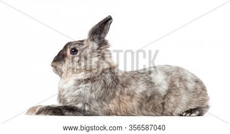 Side view of a domestic rabbit lying, isolated on white