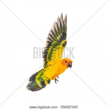 sun parakeet, bird, Aratinga solstitialis, flying, isolated