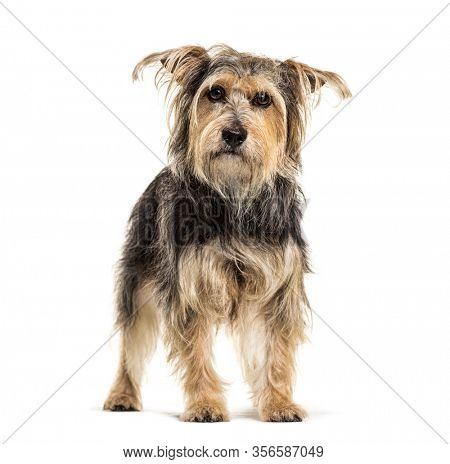 Crossebreed dog, Yorkshire and Griffon, isolated on white