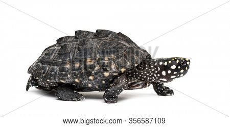 Walking Black pond turtle, Geoclemys hamiltonii, isolated