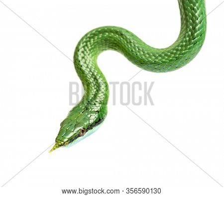 Rhino rat snake, Rhynchophis boulengeri, isolated