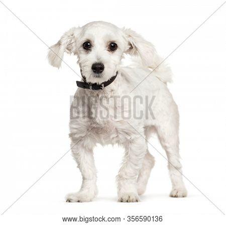Maltese dog, isolated on white