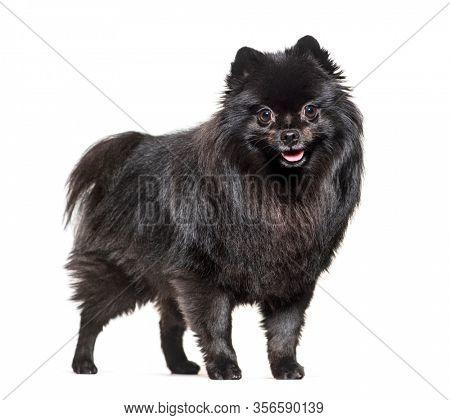 Sitting black Pomeranian dog panting, isolated on white
