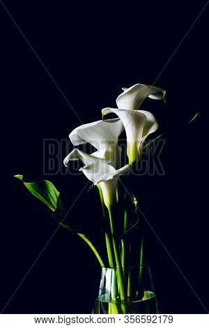 Calla Lilies On A Black Background Silhouettes Of Flowers