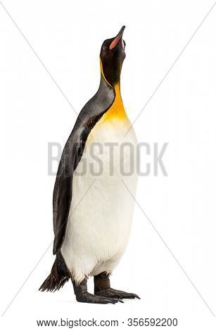 king penguin standing in front of a white background