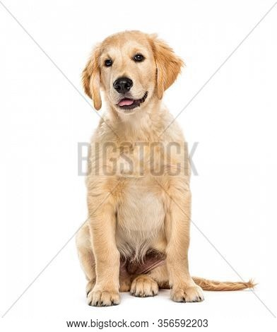 Puppy golden retriever 3 months old, isolated on white