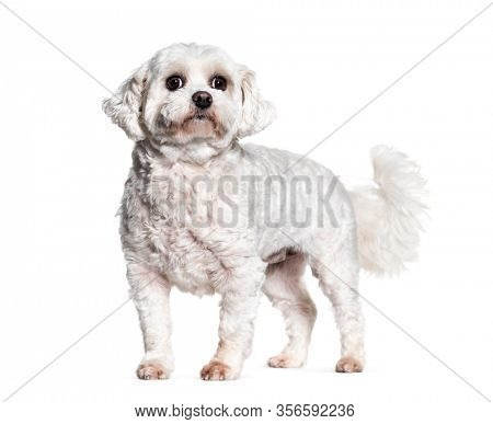 Standing Bichon dog, isolated on white