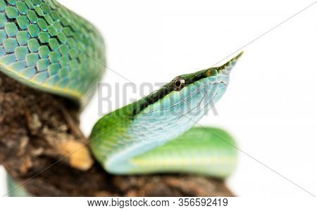 close-up on a Rhino rat snake on a branch, Rhynchophis boulengeri, isolated