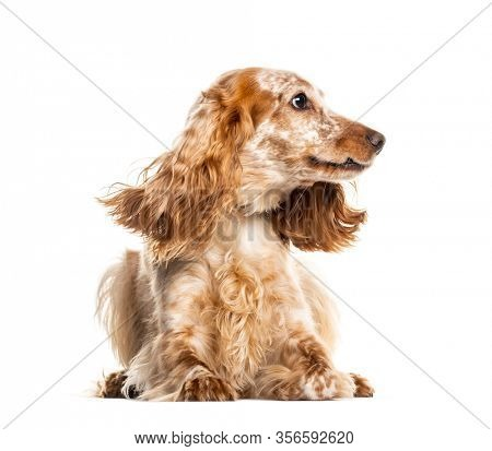 Lying English Cocker Spaniel, looking away,  isolated on white
