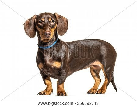 Standing brown Dachsund dog, isolated on white