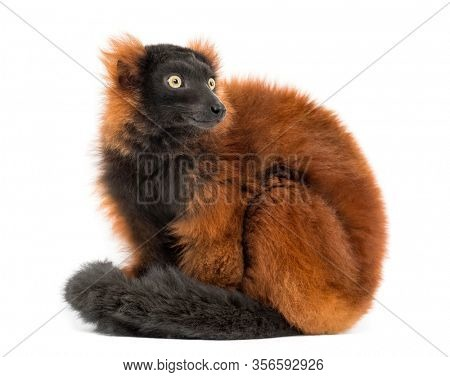 red ruffed lemur sitting, looking backwards, isolated on white