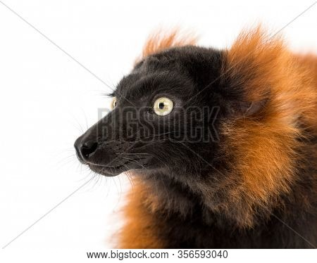 Close-up of a red ruffed lemur, isolated on white