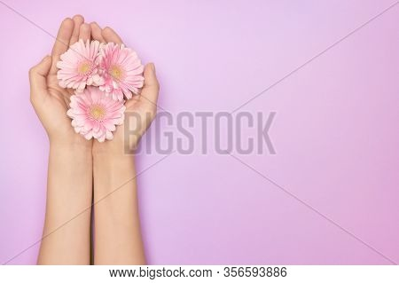 Closeup Womans Hand With A Bright Pink Gerbera Flowers On A Purple Backround With Copy Space. Womens