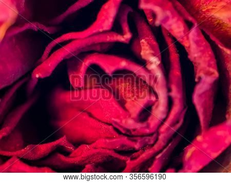Abstract Background Of Dry Red Flower Texture. Petals Of A Vintage Faded Withered Rose In Macro . Fl