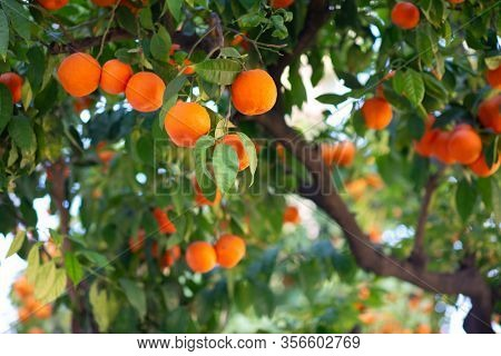 Orange tree with ripe fruits. Tangerine. Branch of fresh ripe oranges with leaves in sun beams. Satsuma tree picture. Citrus