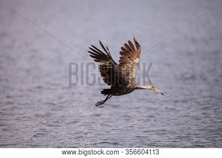 Flying Limpkin Aramus Guarauna Over A Marsh And Forages For Food In The Myakka River In Sarasota, Fl