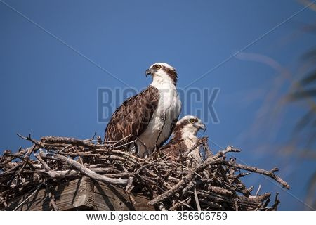 Female And Male Pair Of Osprey Bird Pandion Haliaetus In A Nest