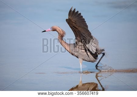 Reddish Heron Egretta Rufescens With Its Reflection
