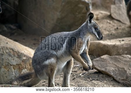 The Yellow Footed Rock Wallaby Is A Cute Grey, White And Brown Wallaby