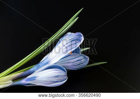 Sympathy Card With Crocus Flowers On Black Background