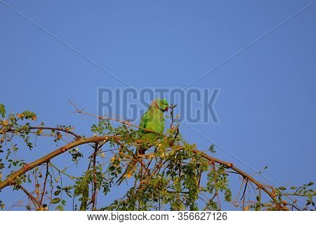 Parrot Or Macaw Rest On Tree Branch In Farm, Green Parrot, Luzon Parrot