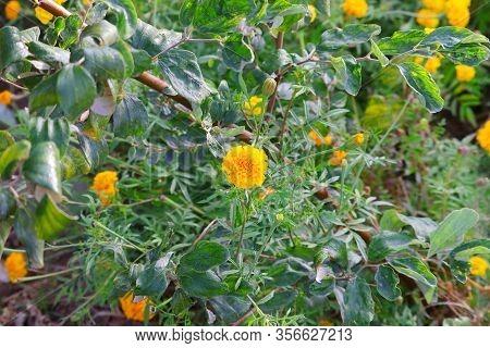 Full Bloom Marigold Flower In Farm , Marigold Plant In Nature,marigold Flower Blossom In Garden. Hea