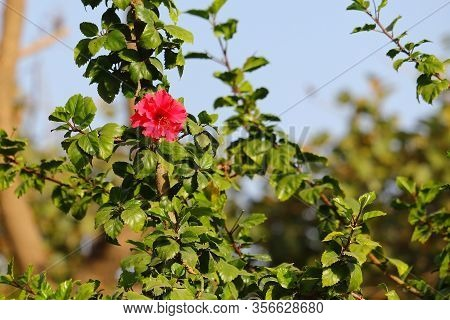 Hibiscus Flower Bloom On Plant In Meadow Day,close-up Of Hibiscus Flowers,red Hibiscus Flower On A G