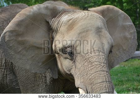 African Elephants Are Elephants Of The Genus Loxodonta. The Genus Consists Of Two Extant Species: Th