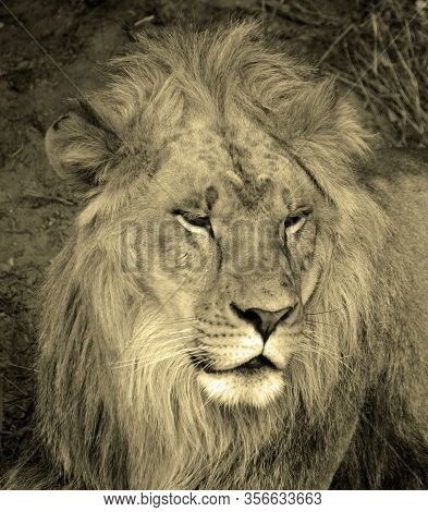 Male Lion: Highly Distinctive, The Male Lion Is Easily Recognized By Its Mane, And Its Face Is One O