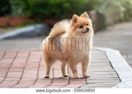 Little German Spitz Dog With Beautiful Blur. Spitz, Pomeranian Dog In City Park