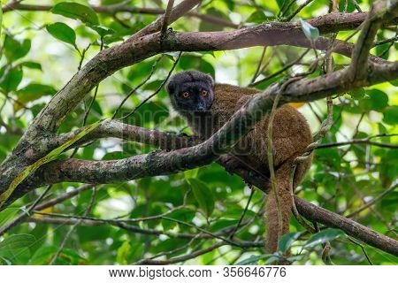 Female Of White-headed Lemur, Eulemur Albifrons, On Branch In Madagascar Rainforest. Nosy Mangabe Fo