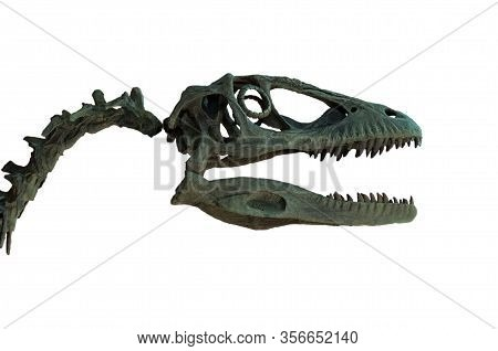 Fossil Of Velociraptor's Skull Isolated On White Background.