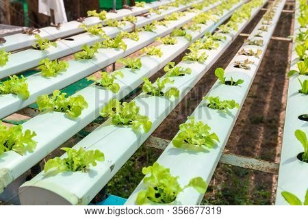 Organic Vegetables Grown In Water In A Line Arranged In Rows.