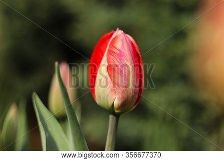 Closed Blossom Of Tulipa Agenensis In The Village´s Garden. Love Emotion. Beskydy, Czech Republic. E