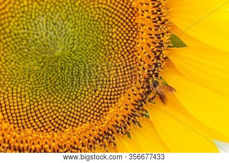 Close-up Of Sunflower Blooming With Bee Is Pollinating Natural Background.