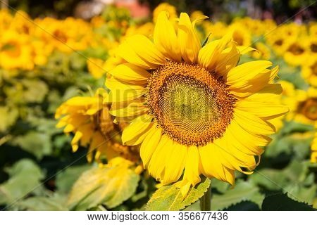 Close-up Of Sunflower Blooming Natural Background.