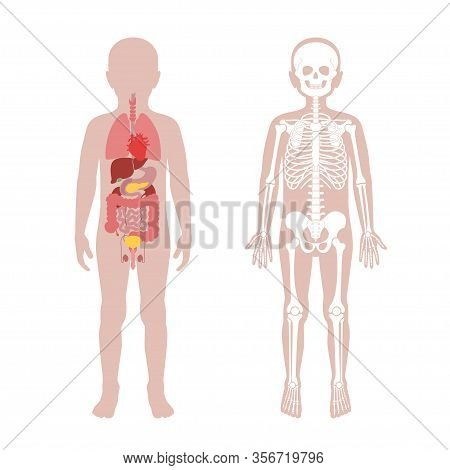 Boy Skeleton And  Internal Organs Anatomy. Anatomical Structure Of Human Child Body Front View. Vect