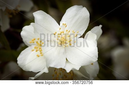 Closeup, Macro Of A Jasmine Flowers On A Bush, In A Garden. Summer.