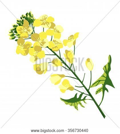 Rape Blossom, Flowering Rapeseed Canola Or Colza, Blooming Brassica Napus Yellow Flower, Oil Seed, P