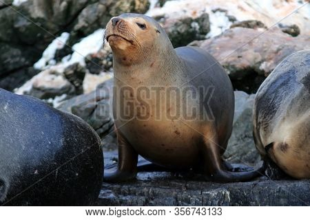Image Of A Sea Lion On The Sea Lion Island, Ushuaia, Argentina