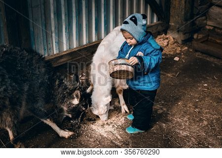 Little Boy Feeds Two Goats With Grain In Agriculture