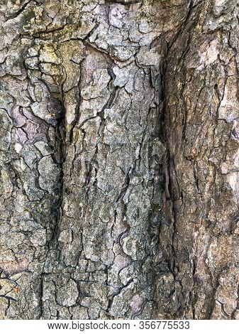 The Surface Of An Old Wrinkled Tree. Cracked Bark Of A Plant. Harmonious Embossed Wood Texture. Perf