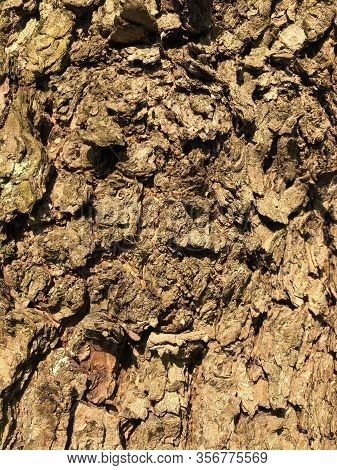 Shriveled Tree, The Surface Of An Old Wrinkled Tree Trunk. Cracked Bark Of A Plant. Harmonious Embos