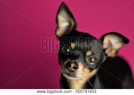 Beautiful Little Black Dog Of Toy Terrier Breed On A Bright Pink Background.