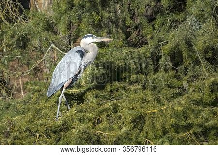 Heron On Pine Boughs. A Great Blue Heron Is Perched On A Cluster Of Pine Tree Boughs In North Idaho.