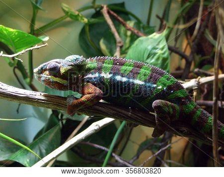 Chameleon In The Vivarium - Ljubljana, Slovenia (slovenija)