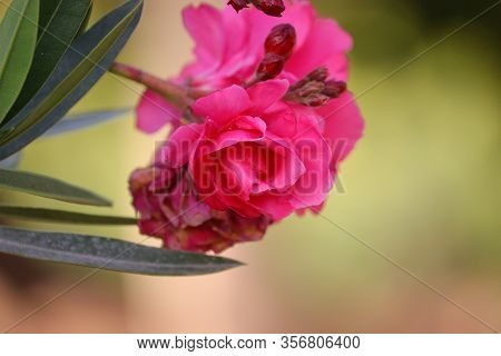 Pink Oleander Flower Full Blooming With Defocused Flower Background , Close Up Blooming Pink Oleande
