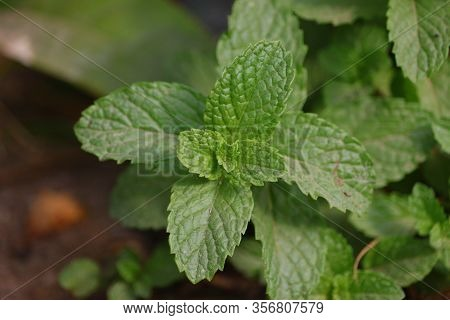 Fresh Mint Leaves Growing In The Garden , Mint Leaf Texture,green Mint Plant Grow Background. Mint L