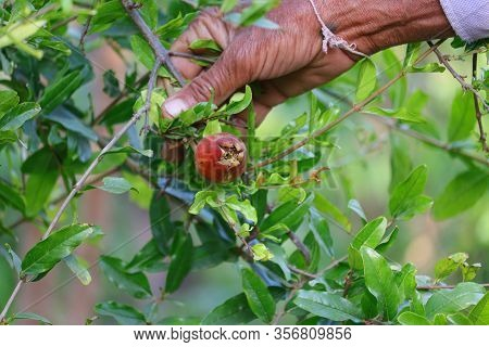 A Farmer Holding Small Growing Pomegranate Fruit With His Hand, Gardening Concept,red Ripe Pomegrana
